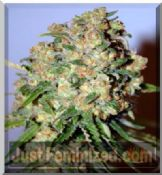 Advanced marijuana seeds Critical feminized 24hr uk Skunk